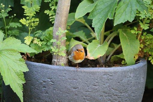 Robin, Bird, Songbird, Garden, Wildlife