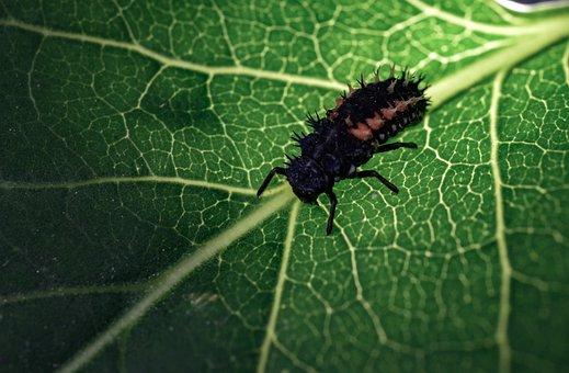 Marienkäfer Larva, Insect, Ladybug, Setae Bristles