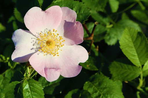 Flower, Rosehip, Spring, Nature, Plant, Pink, Color