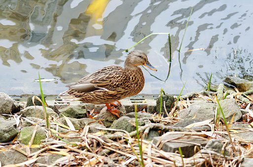 Bird, Duck, Female, Plumage, Motley, Sitting, The Bank