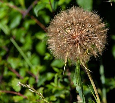 Salsify Flower, Wild Flower, Tragopogon Porrifolius