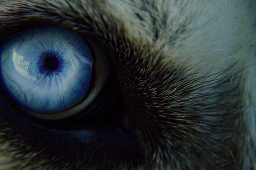 Wolf, Husky, Eye, Blue, Hair, Dog, Animals, Pet, Winter