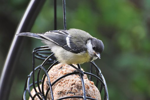 Tit, Songbird, Small Bird, Bird, Bill, Foraging