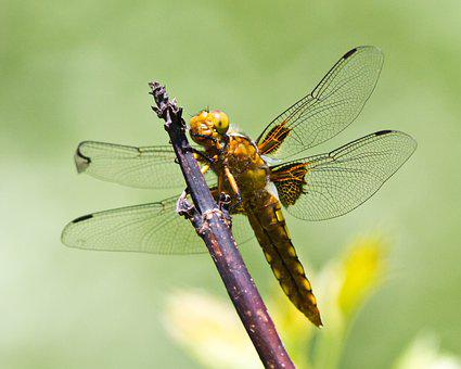 Dragonfly, Branch, Green, The Wings, Close-up