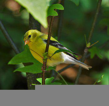 Bird, Finch, Nature, Songbird, Goldfinch, Colorful