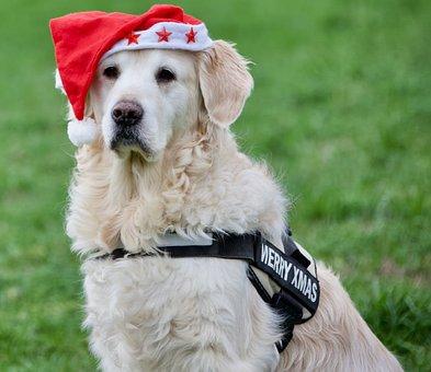 Christmas, Golden Retriver, Dog, Winter