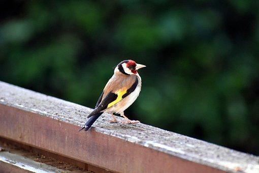 Stieglitz, Goldfinch, Wild Bird, Finch