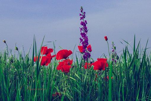 Field, Etude, Flowers, Mac, Purple, Red, Green, Grass