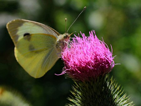 Butterfly, Yellow, Thistle, Pink, Macro