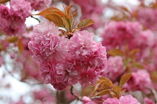 Flower, Bloom, Pink, Flora, Blossom, Petals, Plant