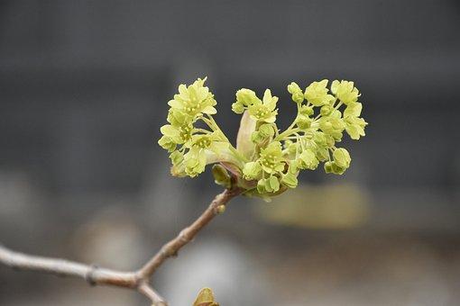 Maple Tree, Spring, Growth, Green, Nature, Organic