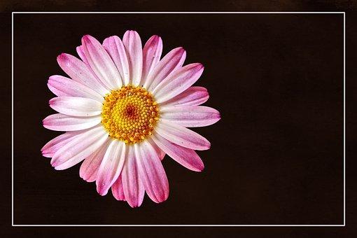 Blossom, Bloom, Magerite, Bornholm, Plant, Color, Flora
