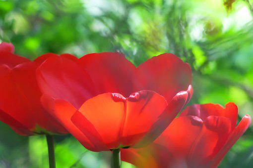 Tulip, Red, Color, Calyx, Blossom, Bloom, Spring