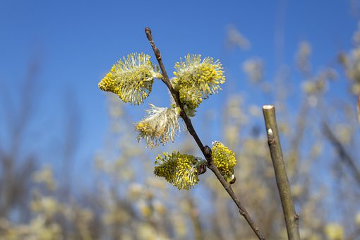 Barka, Willow Flower, Willow, Willow Types, Branch