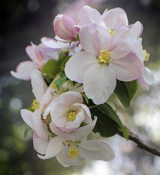 Flowers, Flower, Spring, Summer, Nature, Pink, Apple