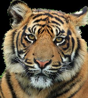 Tiger, Feline, Animal, Bottomless, Render, Png, Stripes