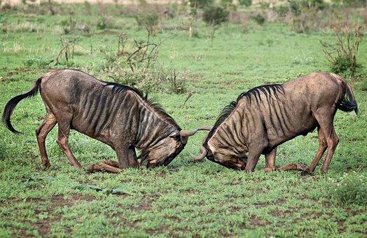Wildlife, Africa, Wildebeest, Grassland