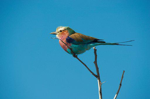 Forked Roller, Bird, Colorful