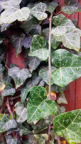 Ivy, English Ivy, Creeping, English, Leaves, Green