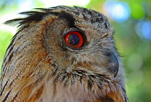 Owl, Eagle Owl, Bird, Bird Of Prey, Raptor, Eye