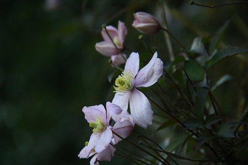 Clematis, Motana Rubens, Flower, Climbing, Creeper