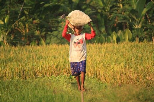 Farmer, Indonesian People, Padi, Villager, Guy, Adult
