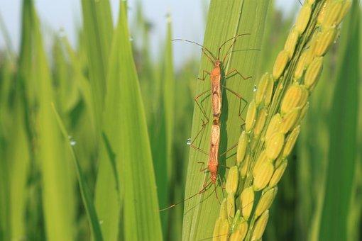 Pest, Insects, Padi, Field, Plant, Indonesian, Banyumas