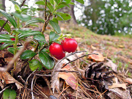 Cowberry, Lingonberry Twig, Twig, Nature, Plant