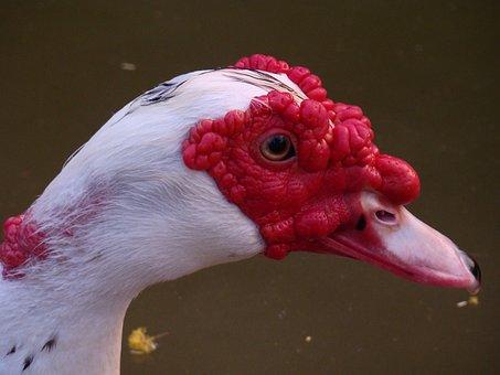 Muscovy Duck, Nature, Braids, Environment, Beak