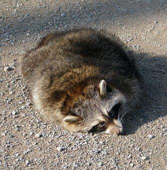 Roadkill, Common Raccoon, North American Raccoon