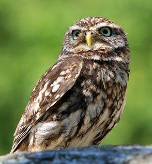 Owl, Bird, Animal, Nature, Little Owl, Beautiful, Photo
