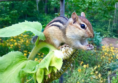 Chipmunk, Animal, Rodent, Eating, Sunflower, Nature