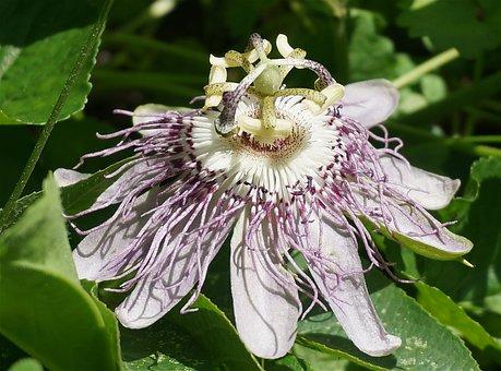 Passion Flower, Side View, Flower, Wild, Wildflower