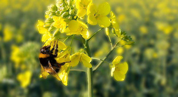 Hummel, Rapeseed, Flower, Field, Yellow
