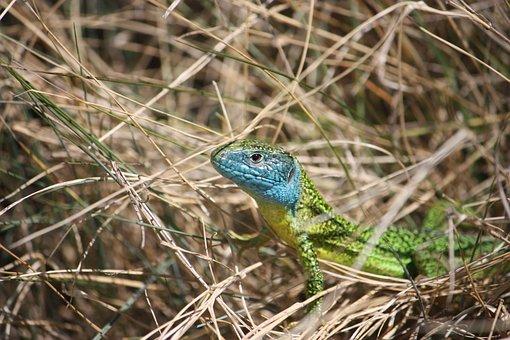 Green Lizard, Reptile, Lizard, Nature, Colorful