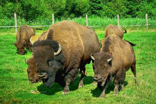 Aurochs, Family, Animal, Nature, Landscape