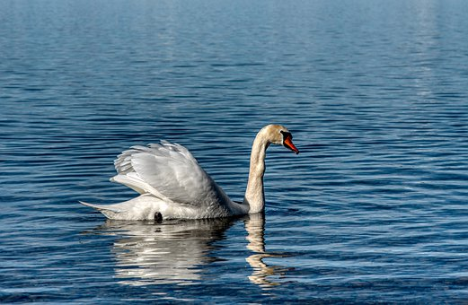 Swan, Swim, Forward, Long Jibe, Plumage, Lake