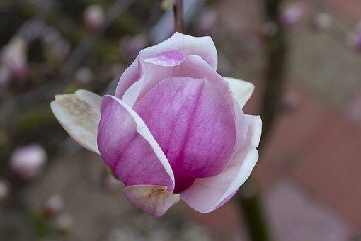 Magnolia, Shrub, Flower, Ornamental Plants