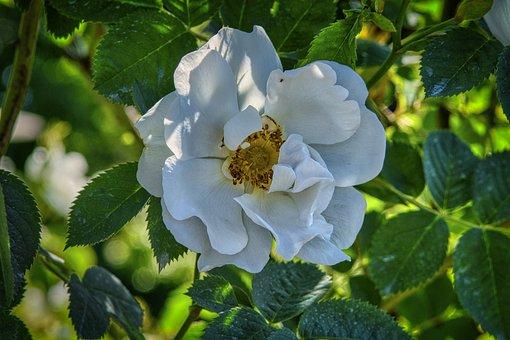 Rose Bloom, Blossom, Bloom, Rose, Nature, Romantic