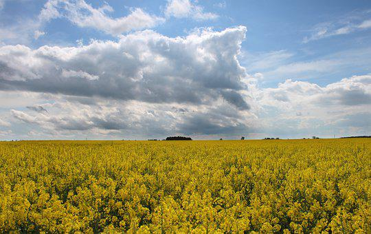 Rapeseed, Spring, Yellow, Nature