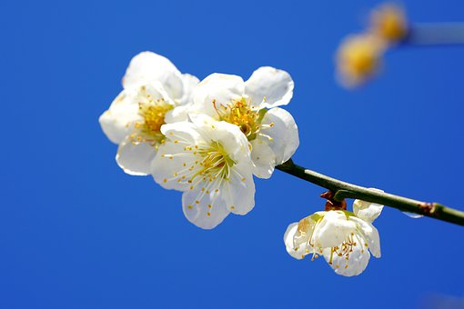 Snow, Plum Blossom, Winter, Spring, Nature, Beautiful