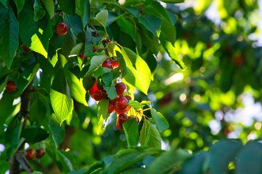 Cherries, Fruit Tree, Nature, Fruits, Summer, Red