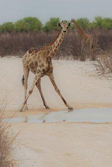 Giraffe, Namibia, Etosha National Park, Drink, Safari