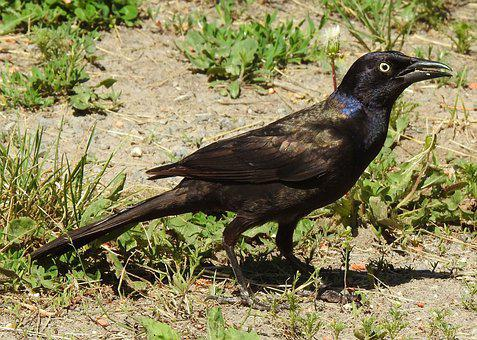 Common Grackle, Purple Grackle, Quiscalus Quiscula