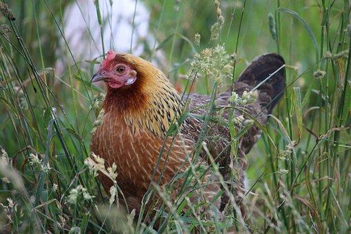 Hen, Grass, Free-range, Nature, Farm, Chicken, Animal