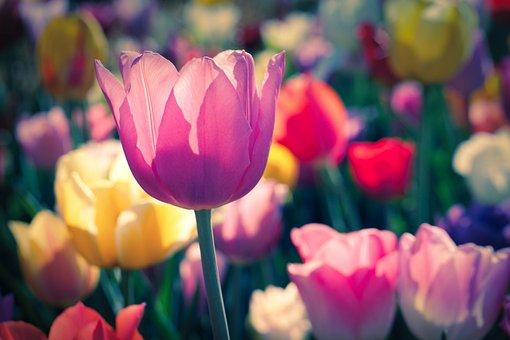Tulip, Blossom, Bloom, Spring, Nature, Garden, Flower
