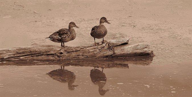 Ducks, Mallard Ducks, Mallard, Ducklings