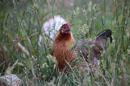 Hen, Free Range, Farm, Poultry, Chicken, Bird, Animal