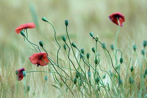 Poppy, Poppies, Meadow, Flower, Field, Red, Spring