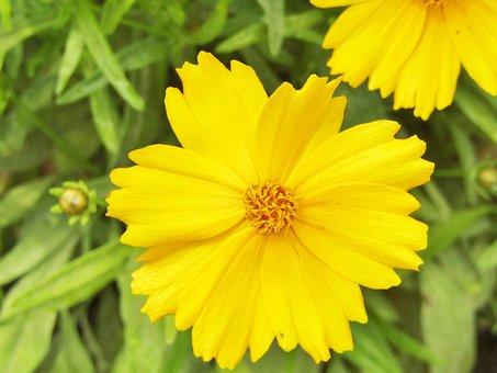 Tick-seeds, Coreopsis, Large-flowered Coreopsis
